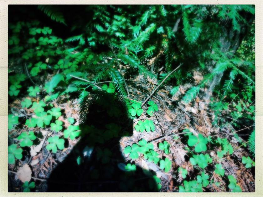 Forest floor with redwood sorrel and the shadow of the photographer.