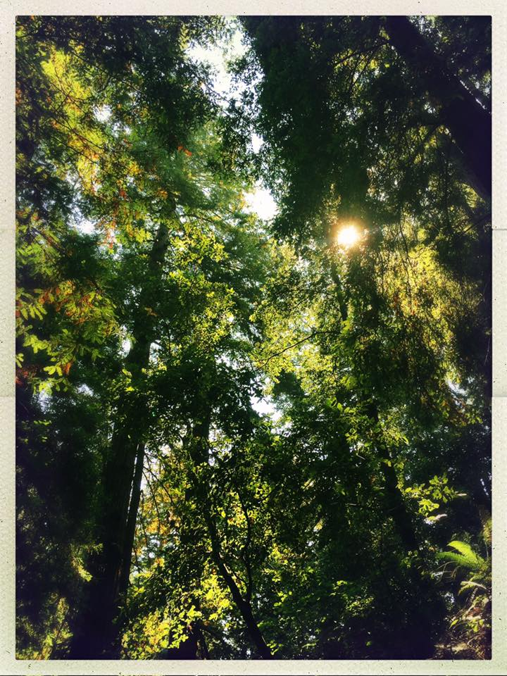 Light shining through the canopy of a redwood forest in San Mateo County.