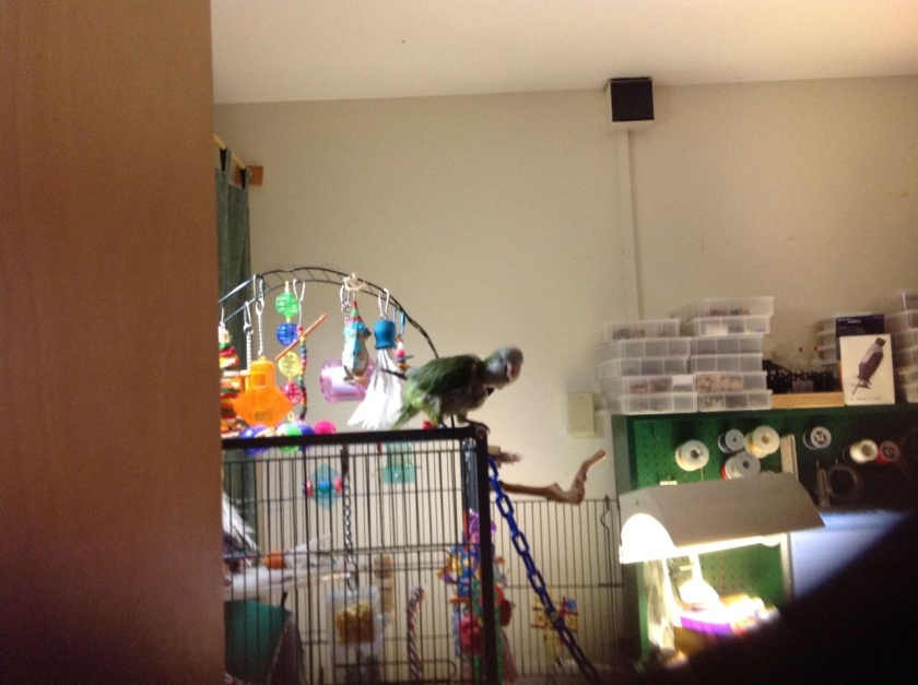 Peri, a Quaker parrot, standing on her cage dancing a little.