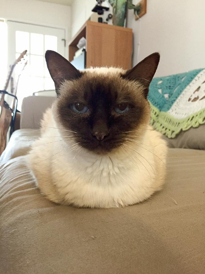Nikki in a kittyloaf position staring straight at the camera.