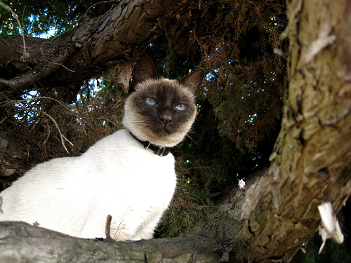 Nikki, a Siamese cat, looking watchful from a tree branch.