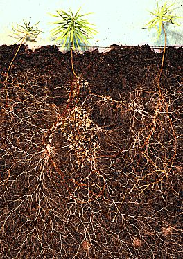 A large network of roots underground below larch seedlings.